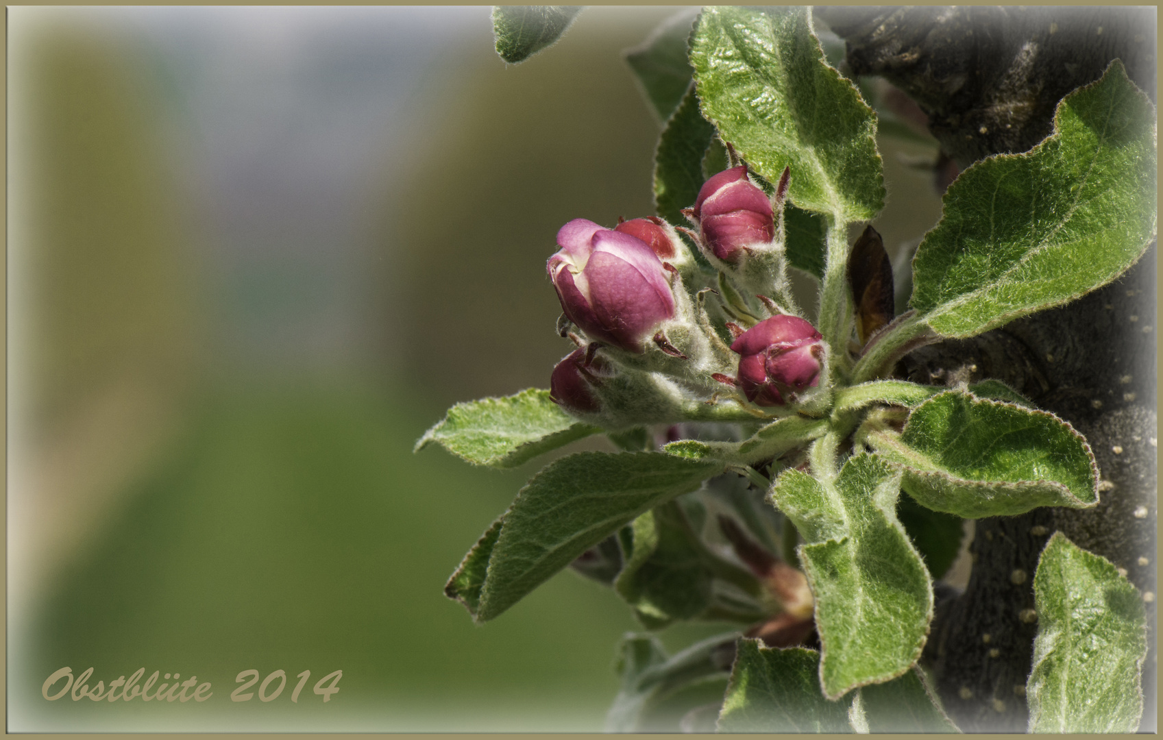 Obstblüte 2014
