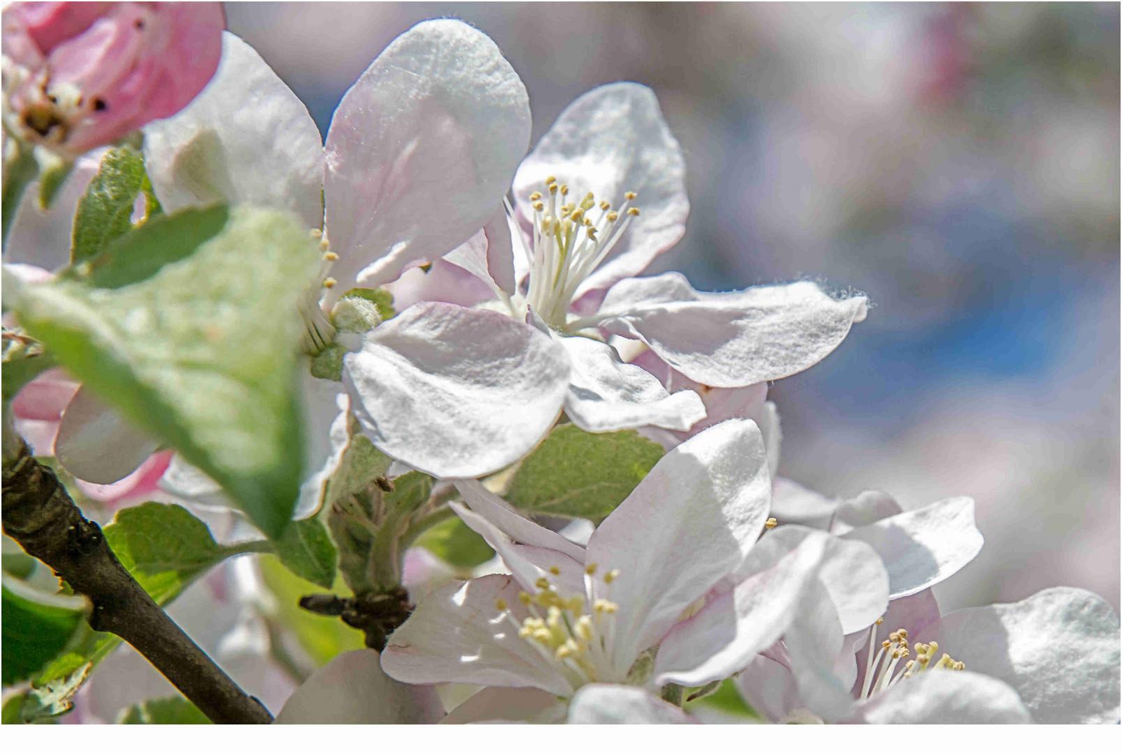 Obstblüte in der Sonne