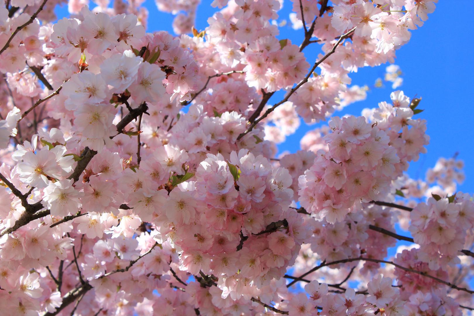 Obstblüten 2