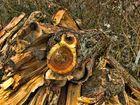 Obstholz