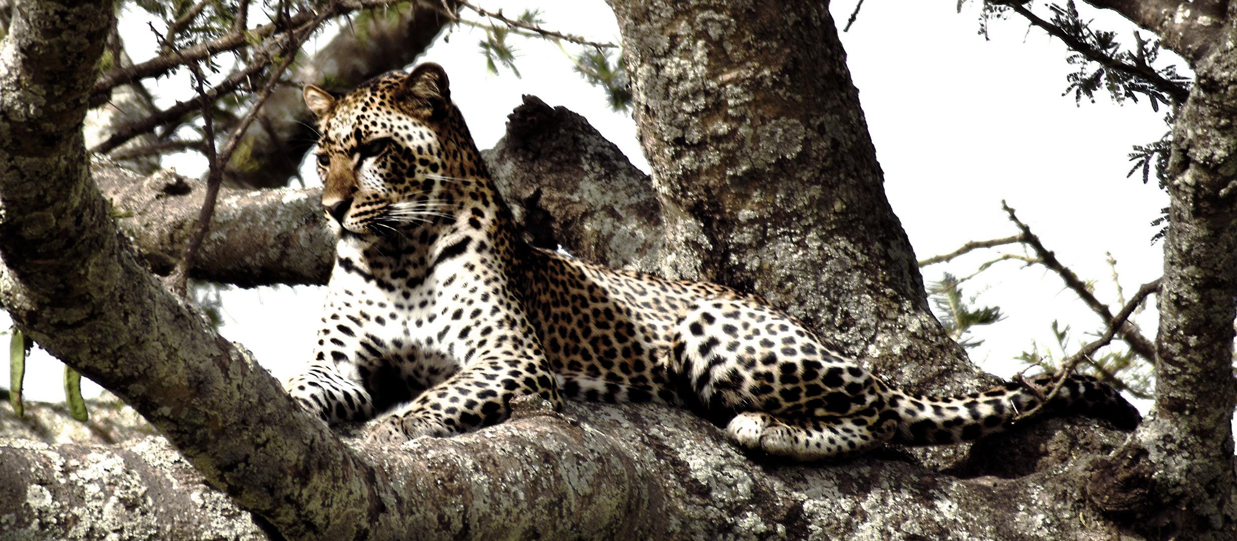 Obstinate Leopard