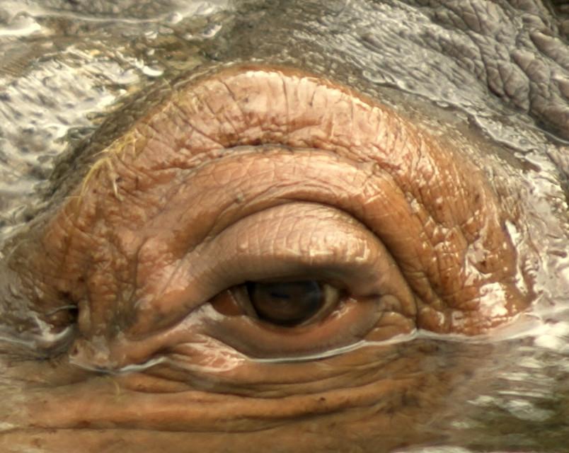 Occhio di Ippo