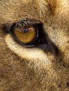 Occhio di leone