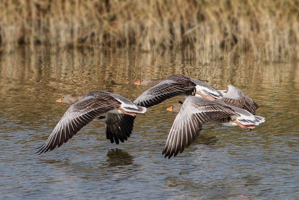 Oche selvatiche in volo radente l'acqua