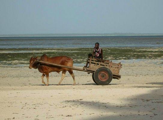 Ochsenkarren am Strand von Sansibar