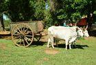 Ochsenkarren Paraguay