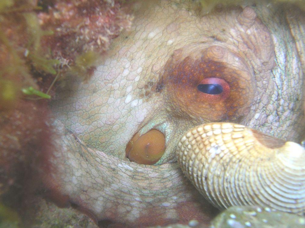 Octobus