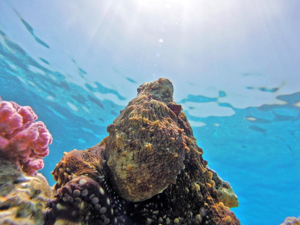 Octopus im Roten Meer
