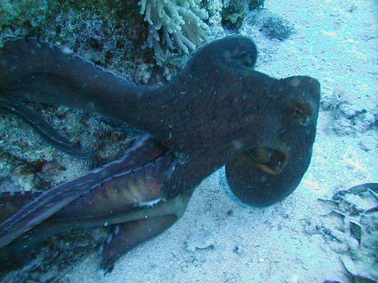 Octopus ( manche sagen Krake )