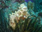 Octopus....Thailande / similans