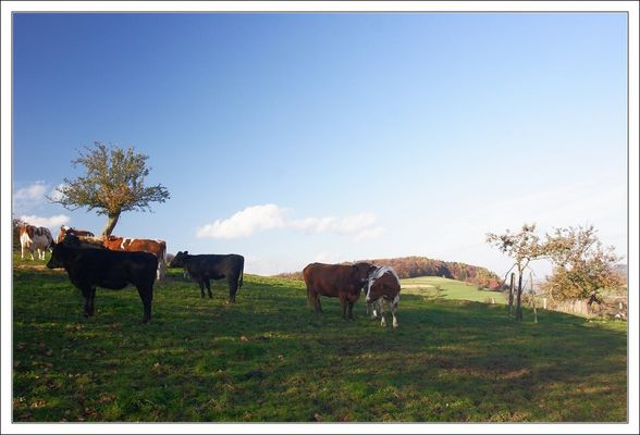 Odenwald Cows