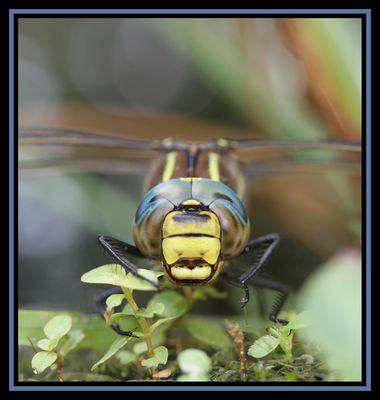 Odonata1