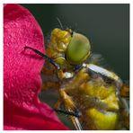 Odonate : libellule déprimée