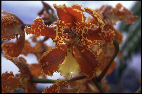 Odontoglossum spec.