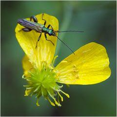 Oedemera nobilis (2)