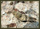 Ödlandschrecke