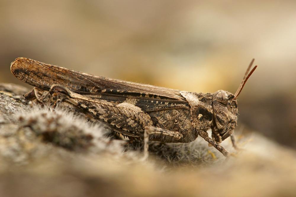 Ödlandschrecke Acrotylus insubricus