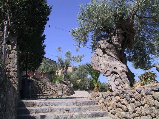 Ölbaum auf Mallorca
