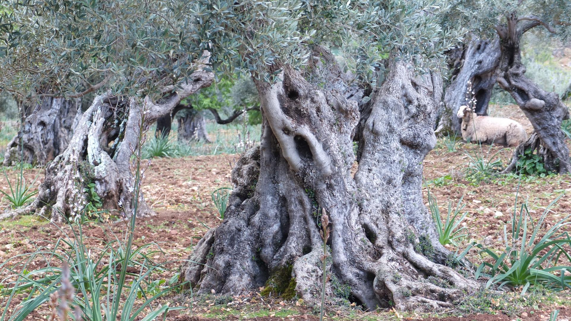 Ölbaum mit Schaf
