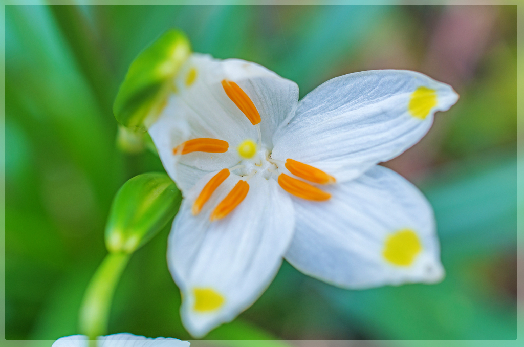 Offene Blüte des Märzbecher