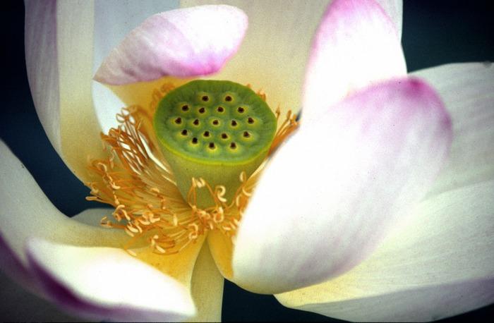 Offene Lotusblüte