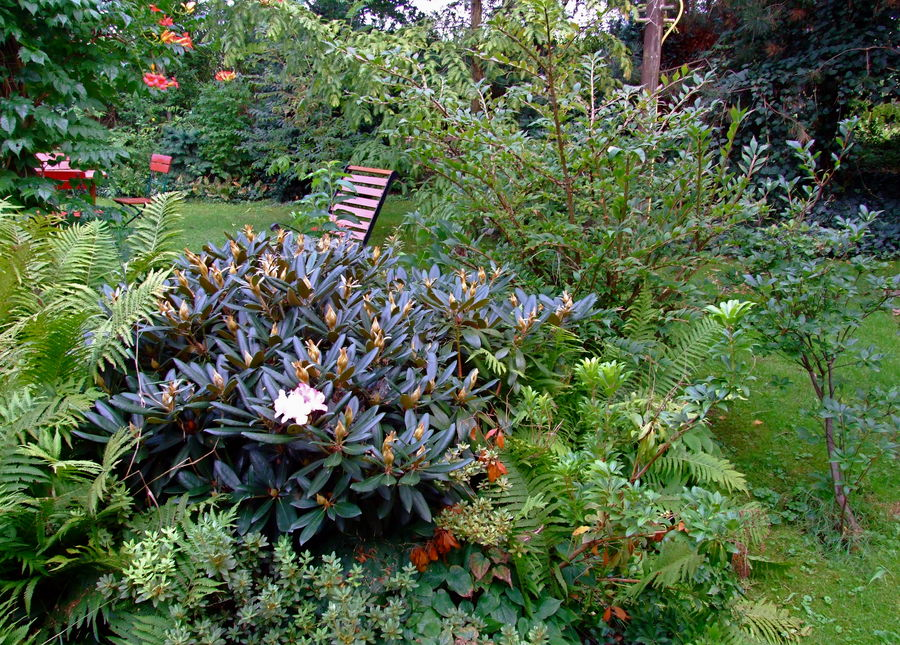 °°° Oh der Frühling grüßt auch - Rhododendron im Herbst °°°
