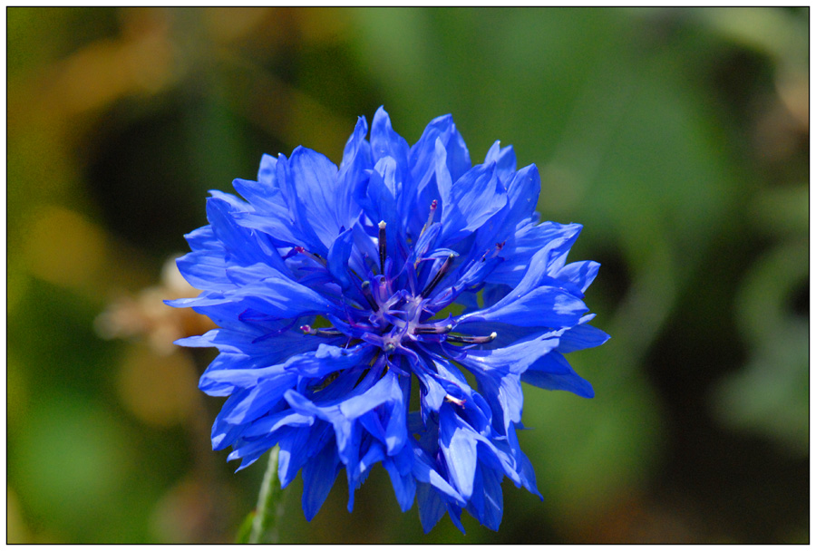 Oh ! la belle bleue !...