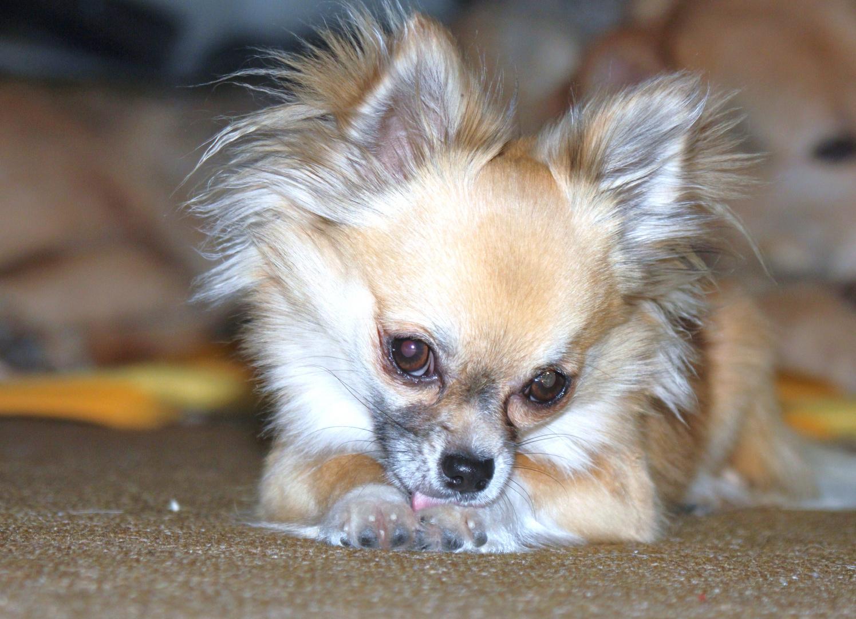 Ohhhhhhhhhhhhhhhhhh Chiwawa!!!!!!!!!!! 2 .Chihuahua Percy.