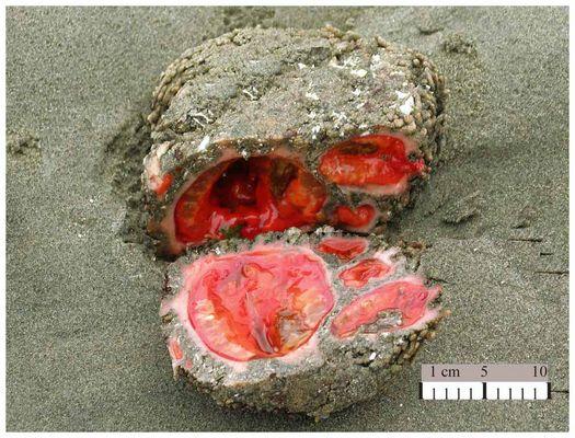Ohne Hirn geht's auch - Piure, Pyura chilensis, chilenische Aszidie
