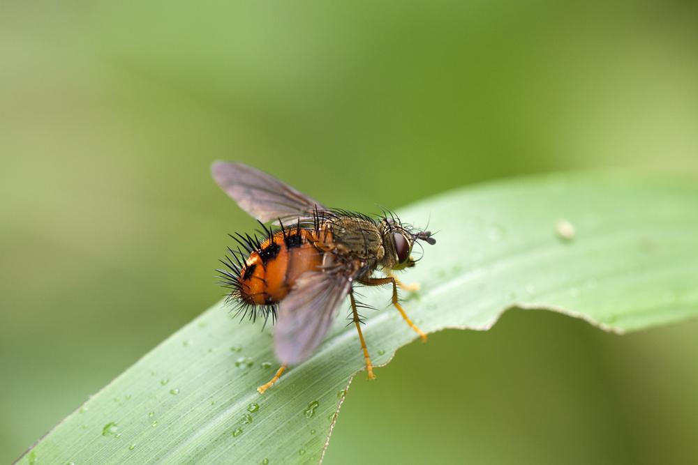 ohne Titel (Tachinidae-Ecuador) 2011