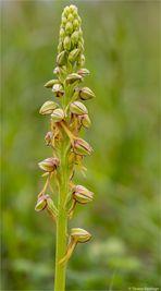 Ohnhorn (Aceras anthropophorum)