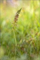 ohnhorn/ohnsporn/puppenorchis (Aceras anthropophorum).