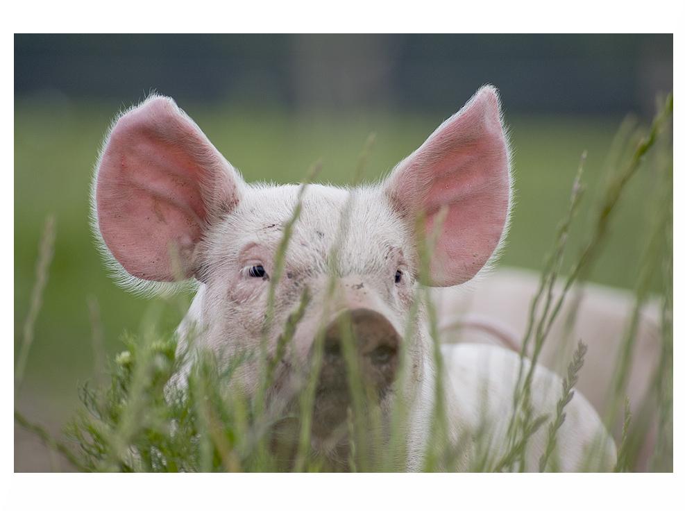 """""""Ohren mit Schwein"""""""