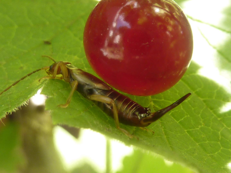 Ohrenkneifer auf einem Blatt mit einer Beere