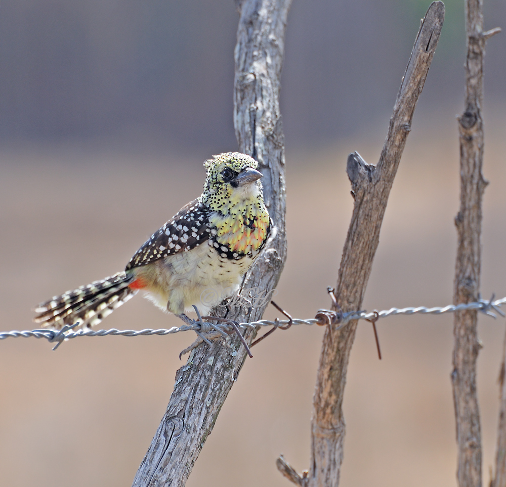 Ohrfleck-Bartvogel