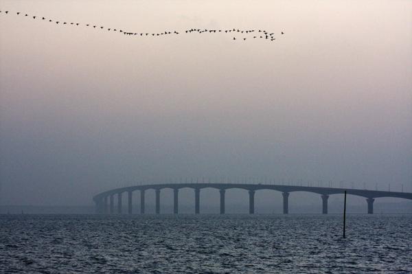 Oies Bernaches au dessus du pont