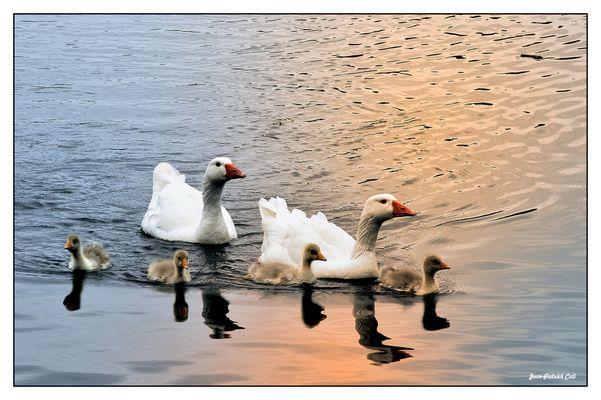 Oies blanches ( En Famille )