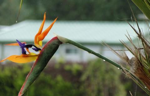 Oiseau de paradis... sous la pluie