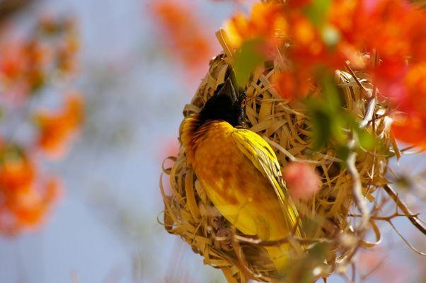 oiseau du senegal