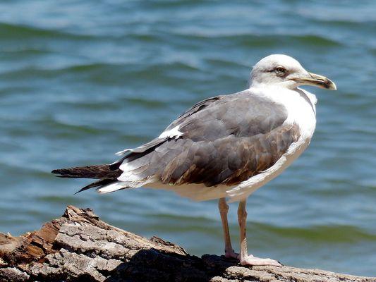 Oiseau portugais