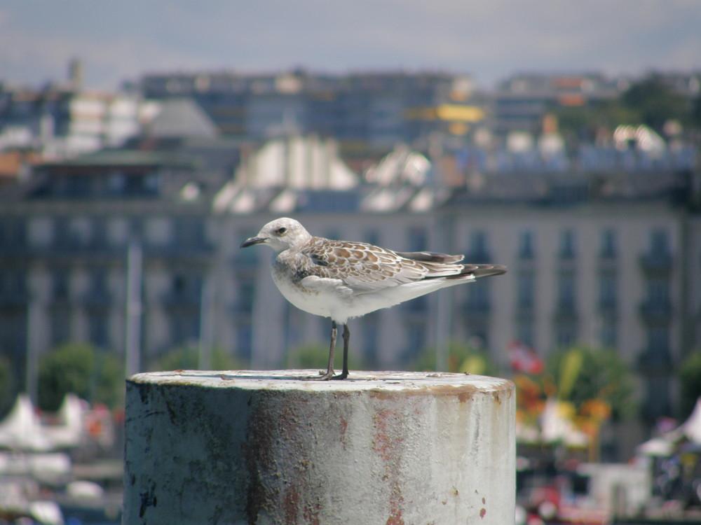 Oiseaux lac leman Geneve