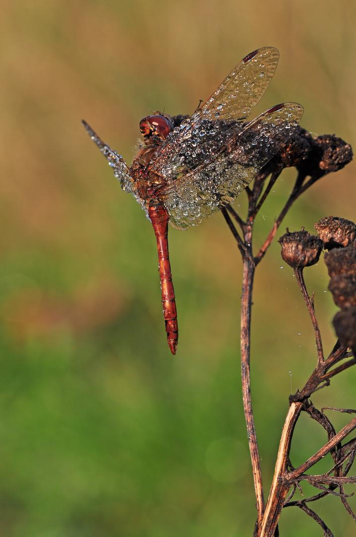 Oktober Libelle #2