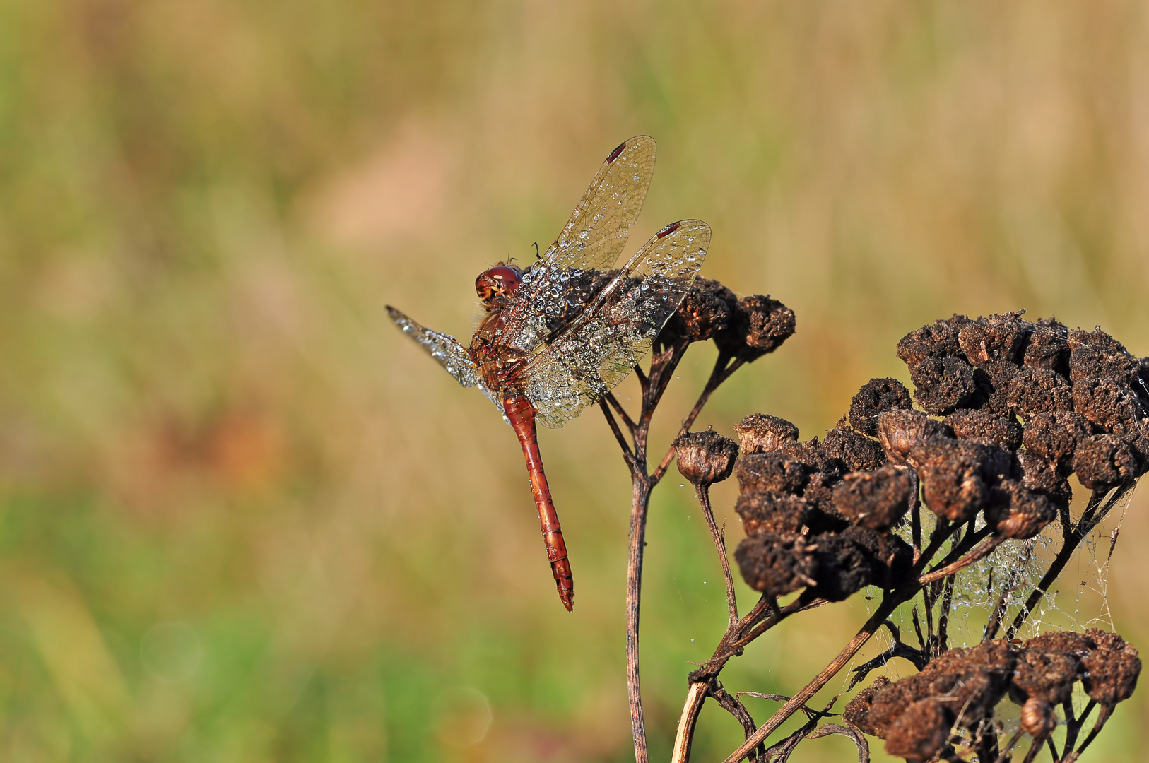 Oktober Libelle #4