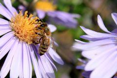 Oktoberbiene