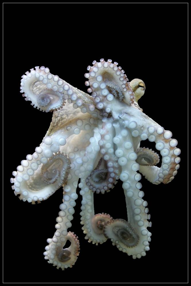 Oktopus ---(0)(0)(0)---