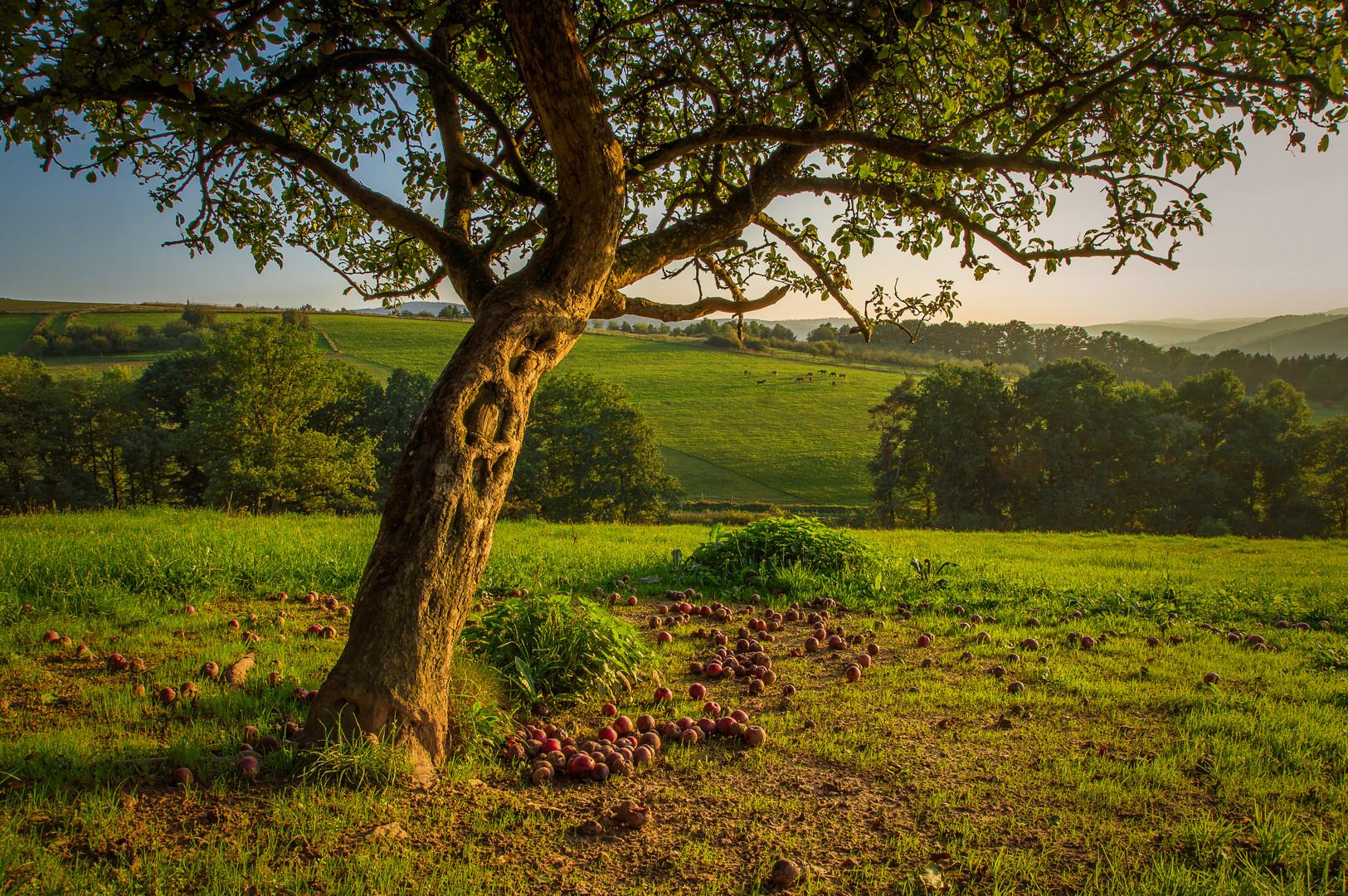OLD APPLE TREE