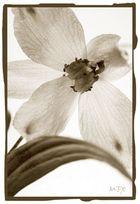 old flower 2