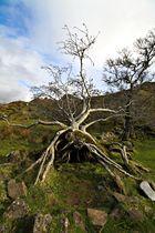 Old tree at Fairy Glen on Skye (Scotland)