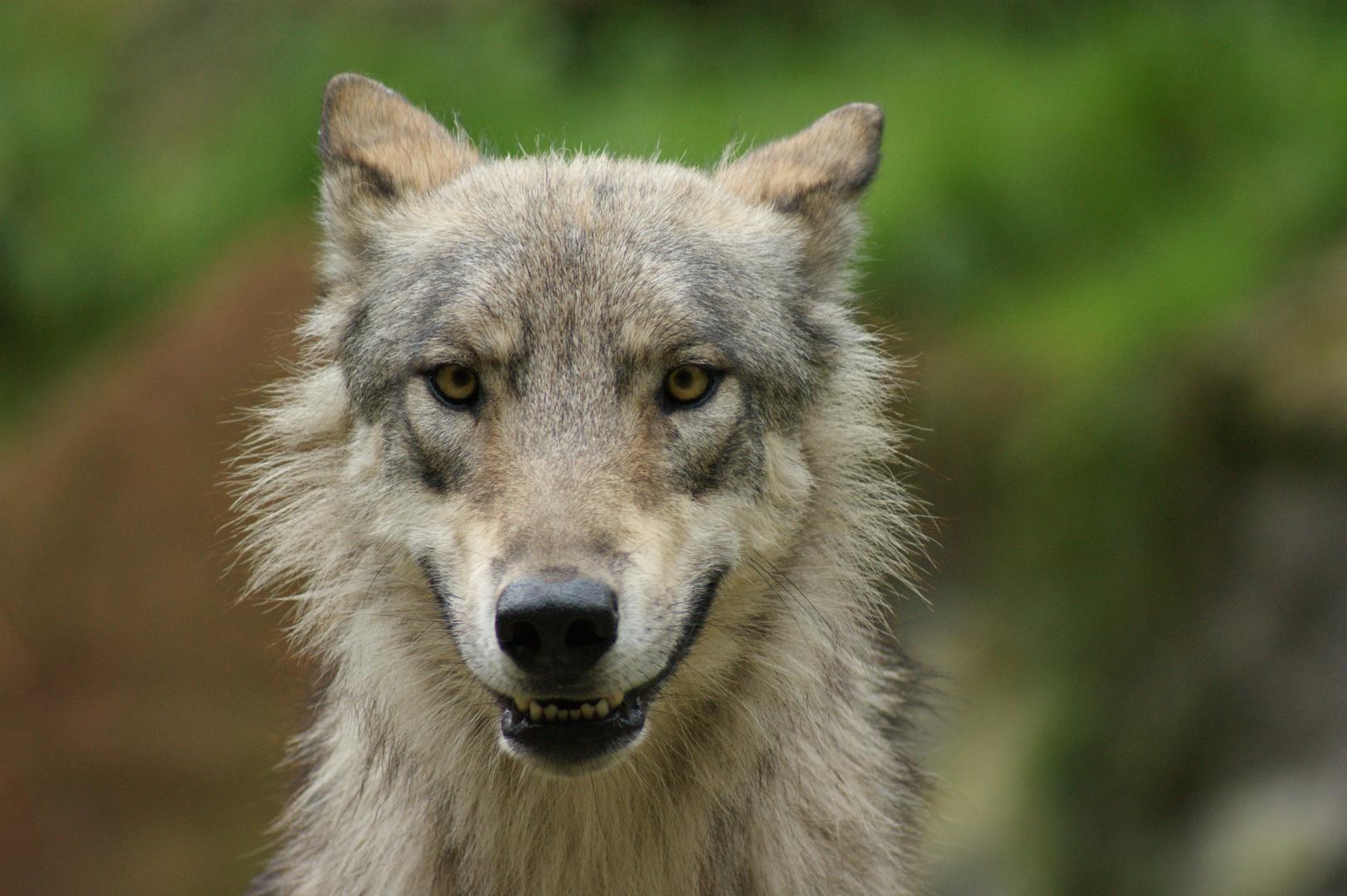 Ole, der schielende Wolf