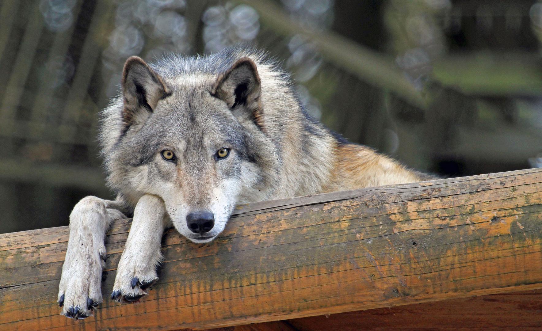 ole (der Wolf) ruht........